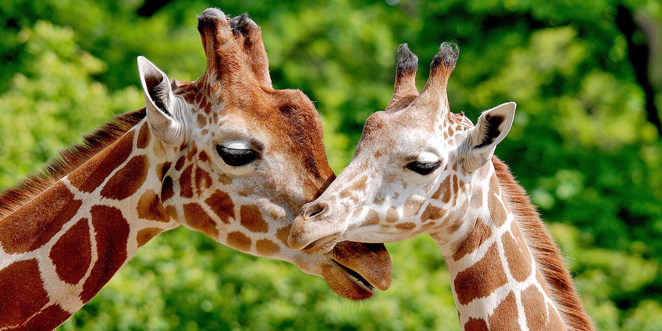 Giraffen im Zoo Berlin