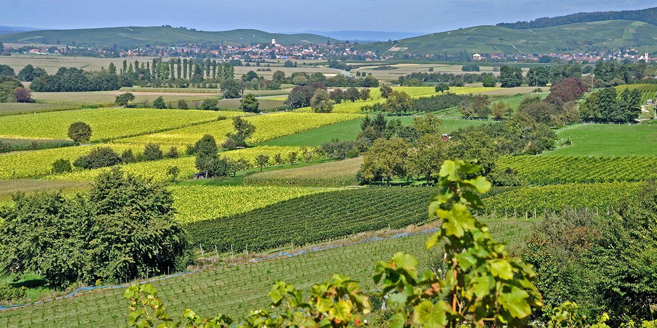 Weinbau bei Freiburg im Schwarzwald