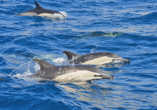 Melia Madeira Mare Resort & Spa, Delfine