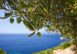 Park Hotel Oasi Garda Gardasee Italien, Olivenbaum