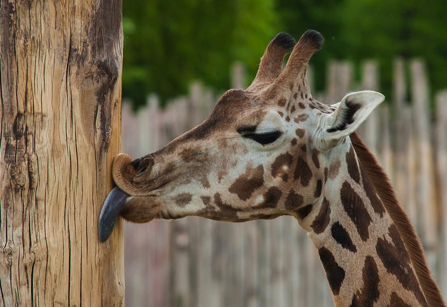 ACHAT Comfort Messe-Leipzig, Giraffe im Zoo