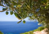 Mediterrane Vielfalt an Italiens Stiefelspitze, Olivenbäume
