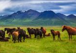 Eine Herde Islandpferde grast vor Gebirge auf grüner Wiese.