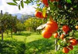 Andalusien und seine Schätze, Orangenbäume