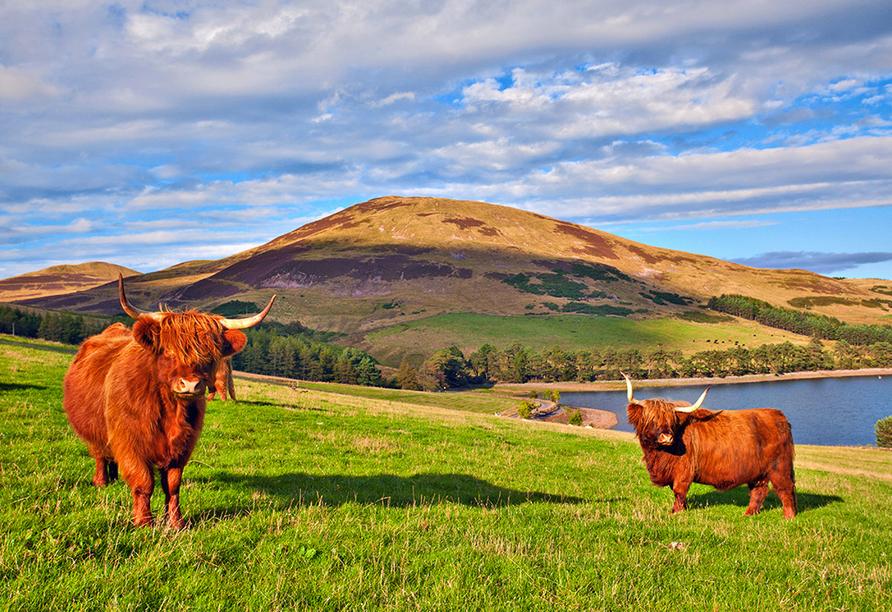 Kurzreise Schottland, Highland Rind