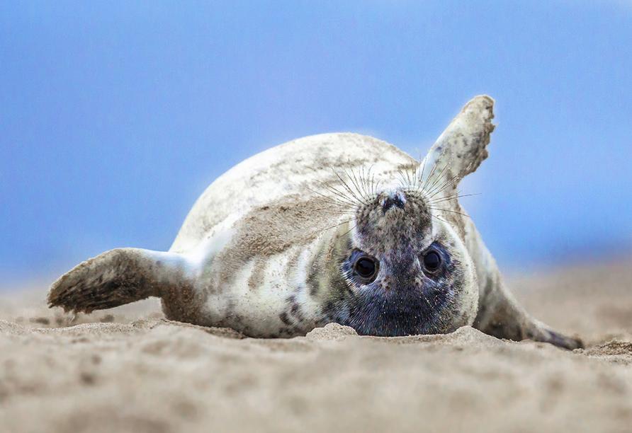 Seehunde sind kein seltener Anblick an den Stränden der Insel und auf den Seehundbänken im Meer.