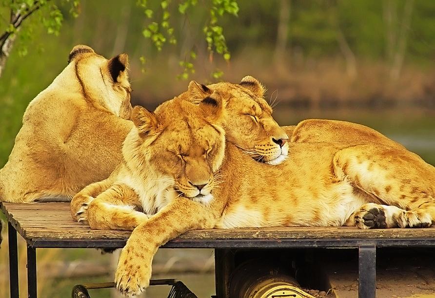 Im Safaripark Beekse Bergen erleben Sie spannende Stunden im Reich der Tiere.