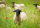 Rhönschafe sind eine landschaftstypische Schafrasse der Rhön.