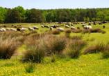 Grasende Heidschnucken in der Lüneburger Heide.