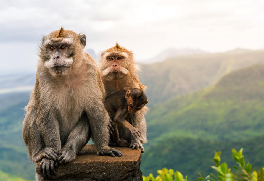 Im Black River Gorges Nationalpark fühlen sich auch die Affen zuhause.