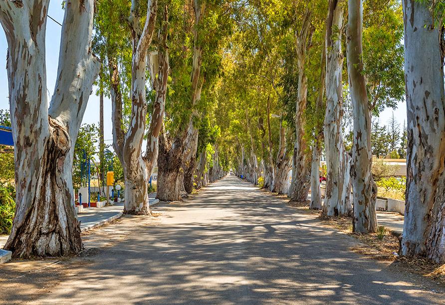 Die Eukalyptus-Allee ist das Wahrzeichen von Kolymbia.