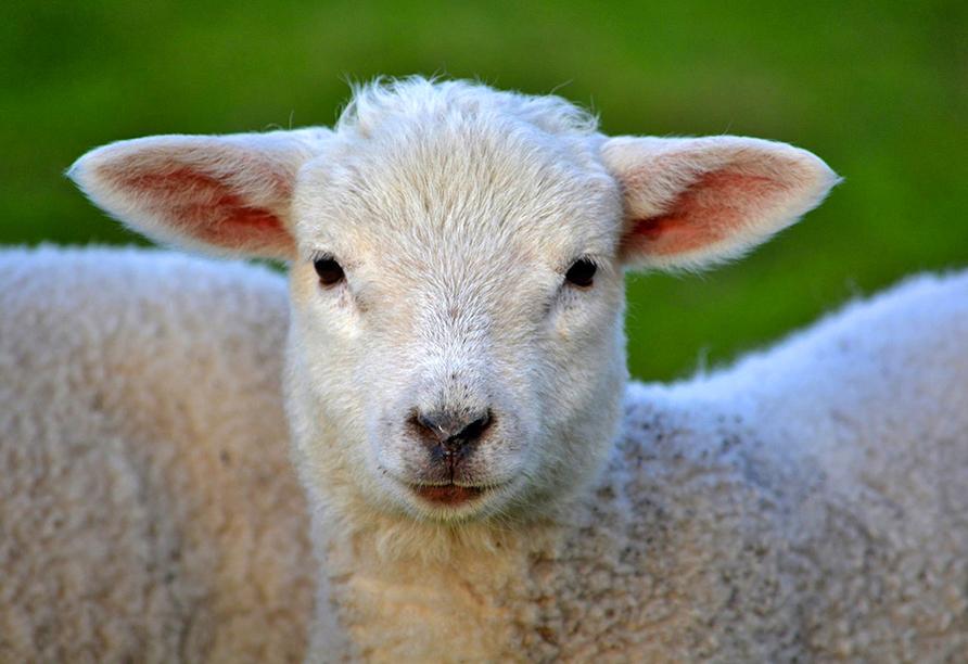 Kleines Lamm schaut in die Kamera.