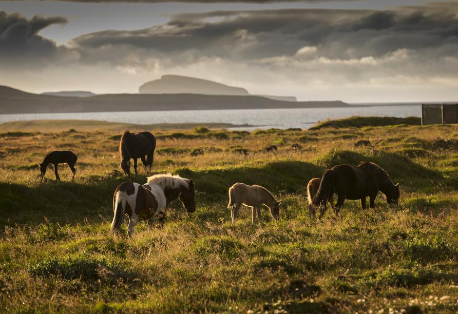 """Skagafjördur gilt als """"die Wiege des Islandpferdes""""."""