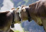 Das Kalkschmid – Familotel Tirol, Österreich, Seefeld, Bergkuh