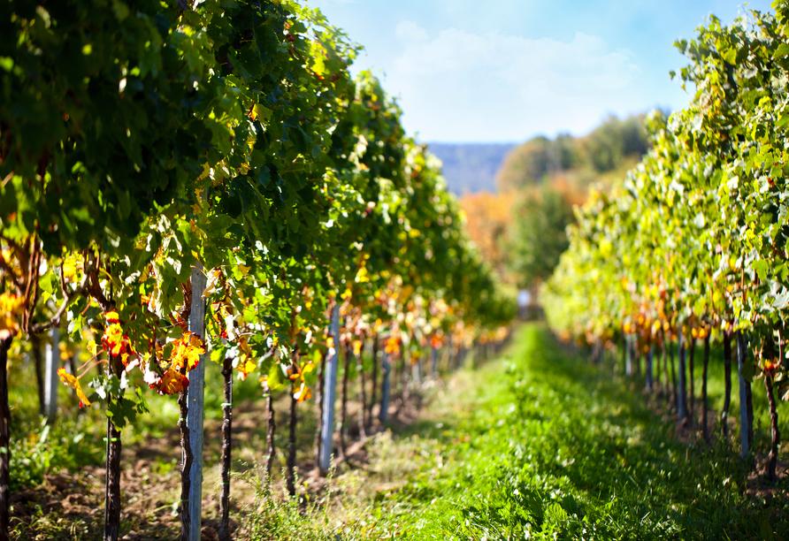 Die Weinberge der Region strahlen im Herbst in den schönsten Farben.