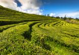 Wussten Sie, dass es auf São Miguel die einzige Teeplantage Europas gibt?