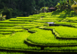 Das typische Fotomotiv – unternehmen Sie auf eigene Faust einen Ausflug zu den balinesischen Reisterrassen bei Ubud.