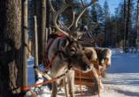 Sagen Sie Rudolph und seinen Rentierkollegen beim inkludierten Besuch der Rentierfarm Hallo.