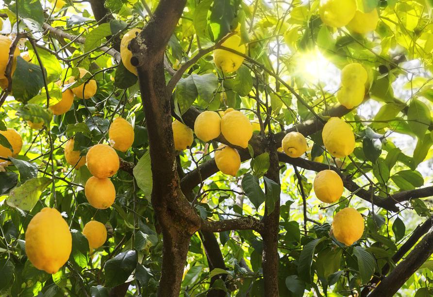 Das Wahrzeichen der Provence-Stadt Menton ist die Zitrone.