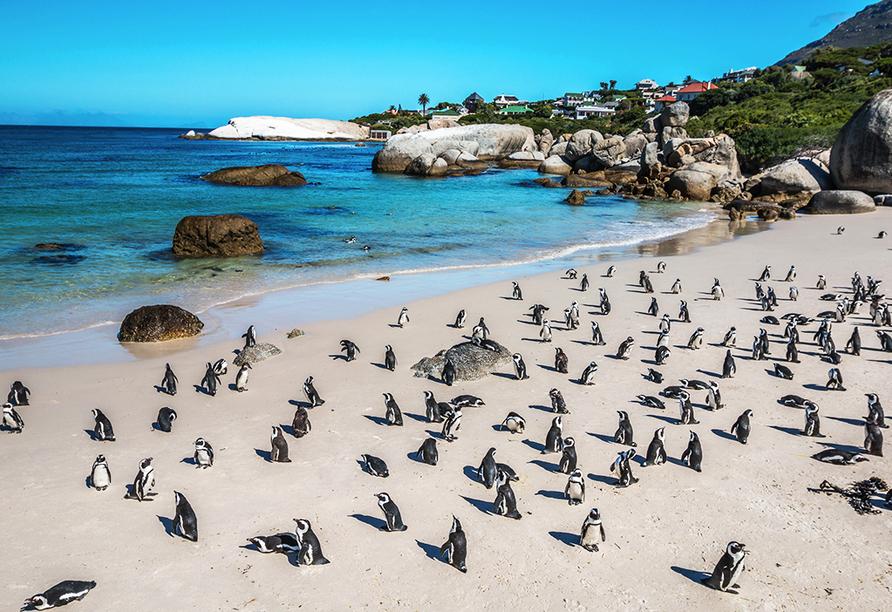 Die süßen Pinguine am Boulders Beach sorgen direkt für ein Lächeln im Gesicht.