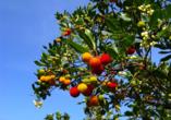 Die Frucht des Westlichen Erdbeerbaumes wird in Medronho-Brennereien zu leckerem, portugiesischem Schnaps verarbeitet.